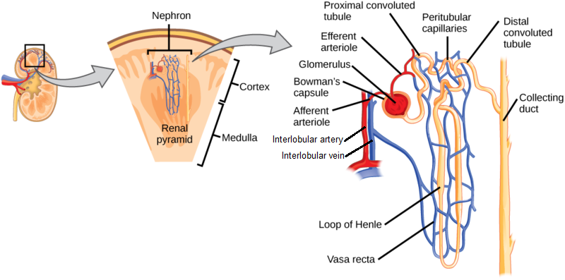 The anatomy of a nephron. Pay special attention to the fact that the Loop of Henle comes  before  the distal convoluted tubule in terms of urine flow. ( Image )