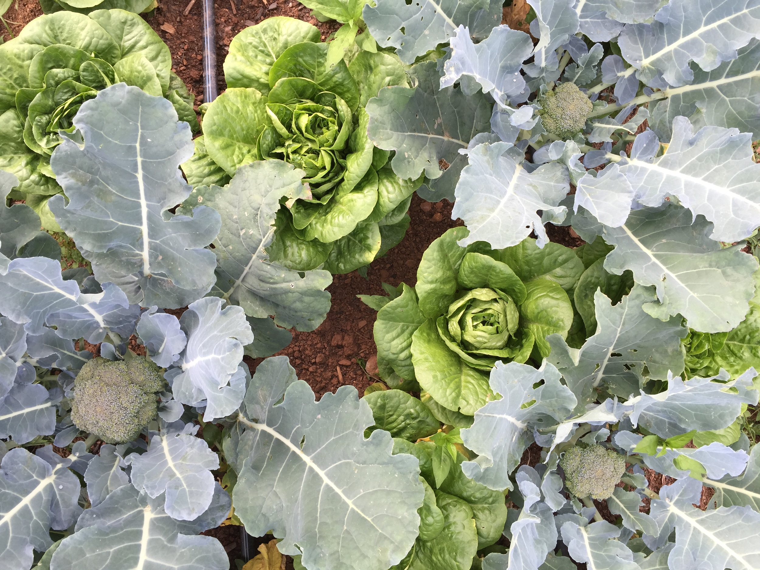 Broccoliinterplanted