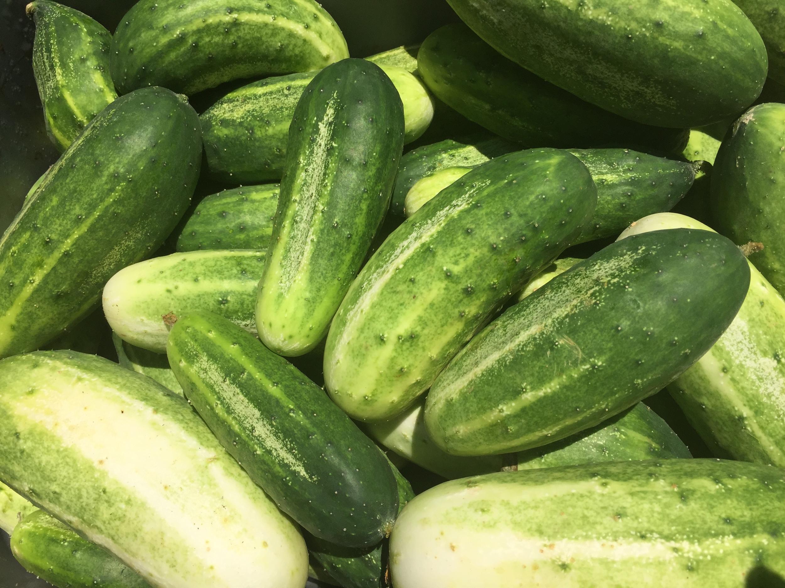 Little Leaf Cucumbers