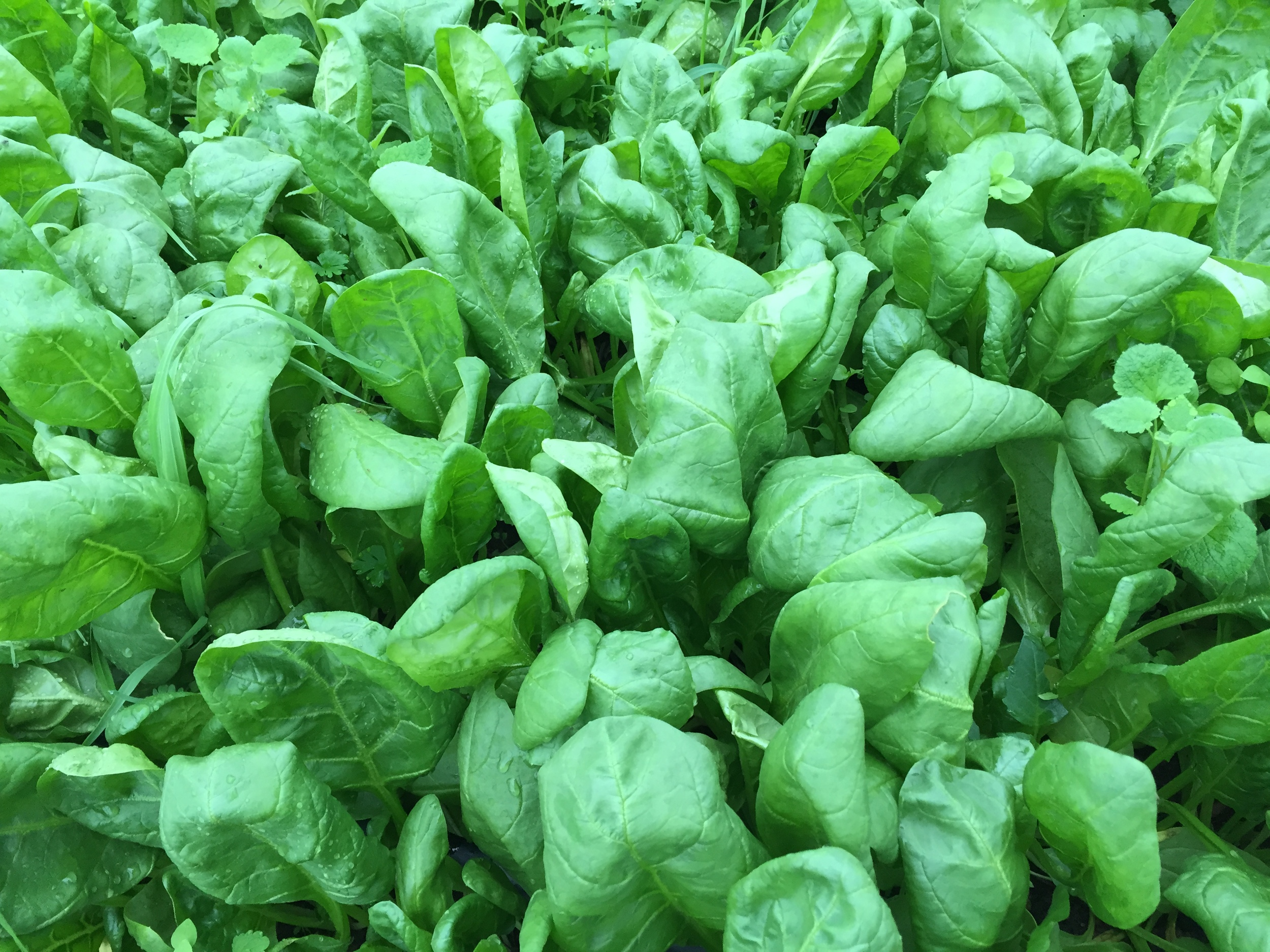 A healthy bed of spinach