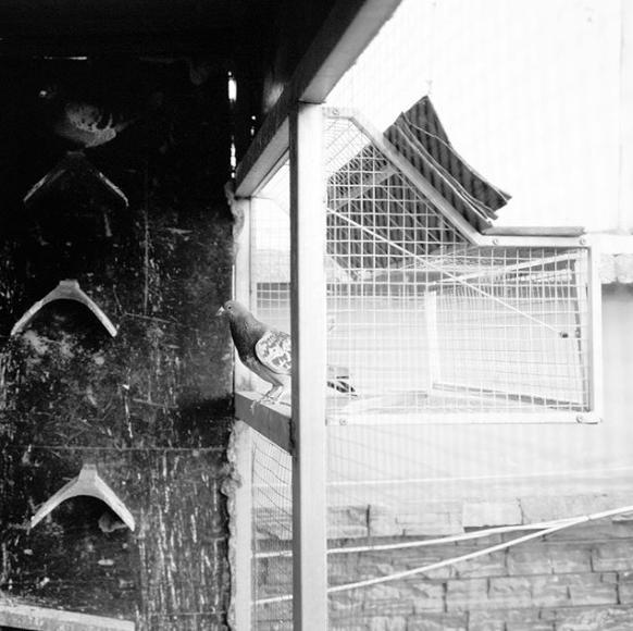 Pigeon Rinchen Lucy