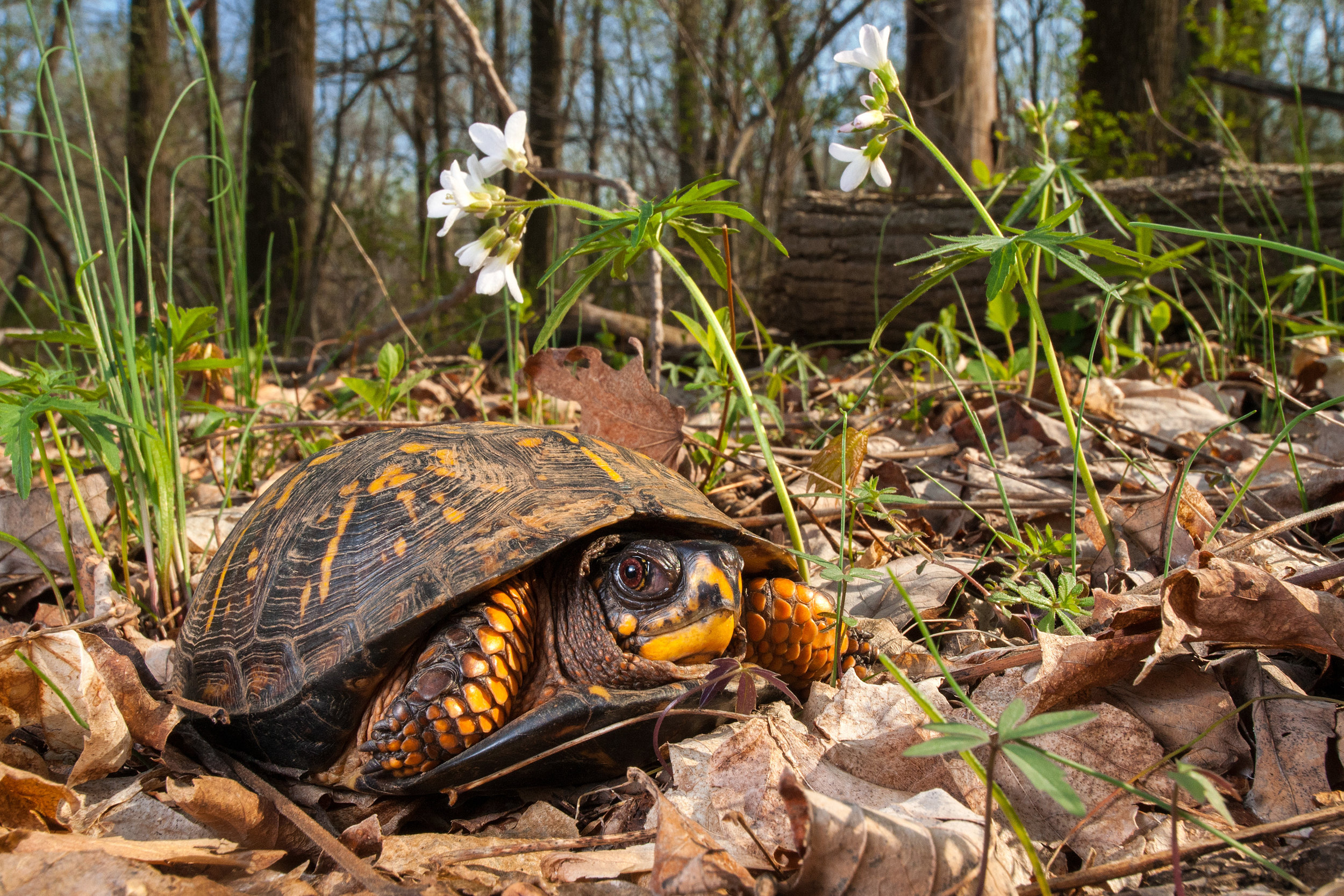 You can make sure that turtles, and other wildlife, have a place to call home…forever. Critical habitat, throughout the county, is facing development pressure that will eliminate habitat for these beautiful reptiles.