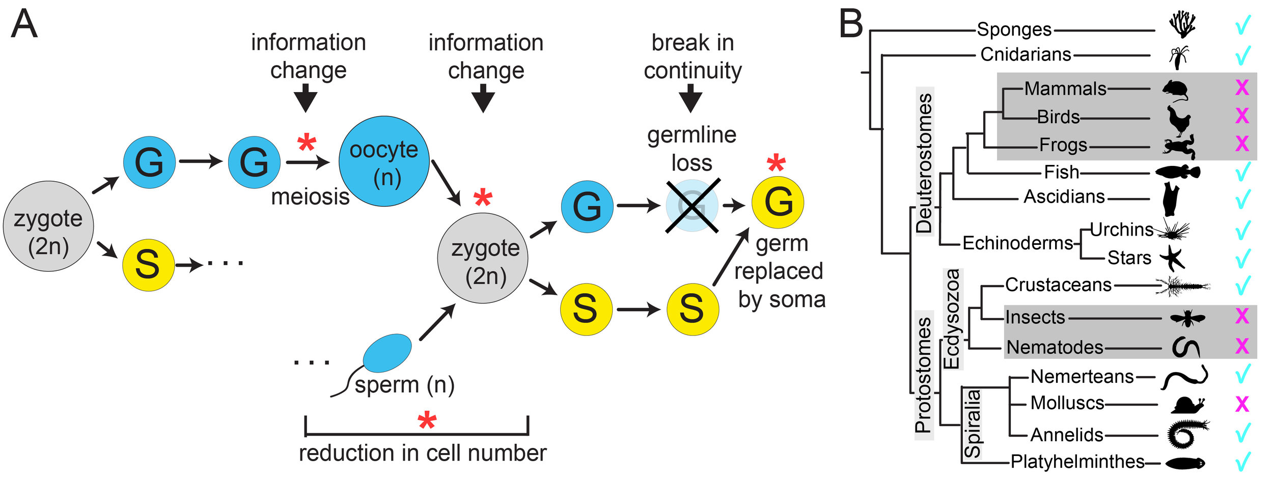 "A)  Which component of the germline is immortal and continuous? Stars: points of change. Cells originating from germline (G) in blue, from soma (S) in yellow.  B)  Distribution of germline regeneration across animal phyla. Gray indicates the phylogenetic location of traditional model organisms which cannot regenerate the germline  in vivo  (indicated by ""X""). Check marks indicate clades in which there is evidence for germline regeneration."