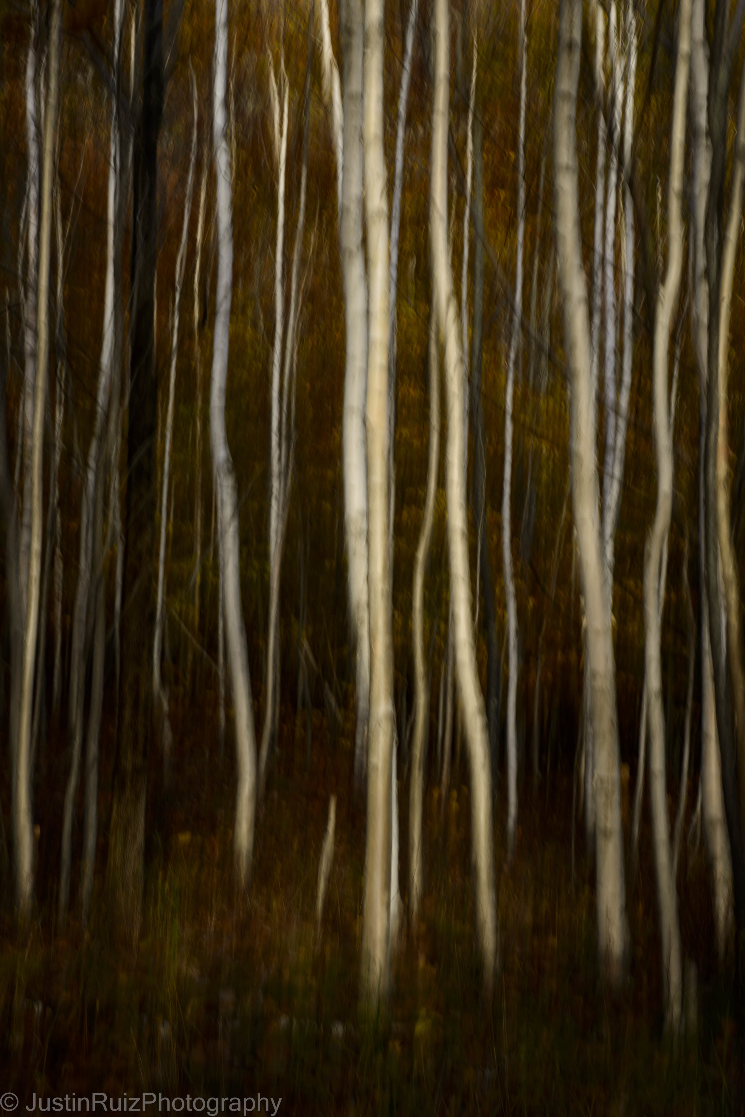 Acadia NP Birch Trees_DSC5983.jpg