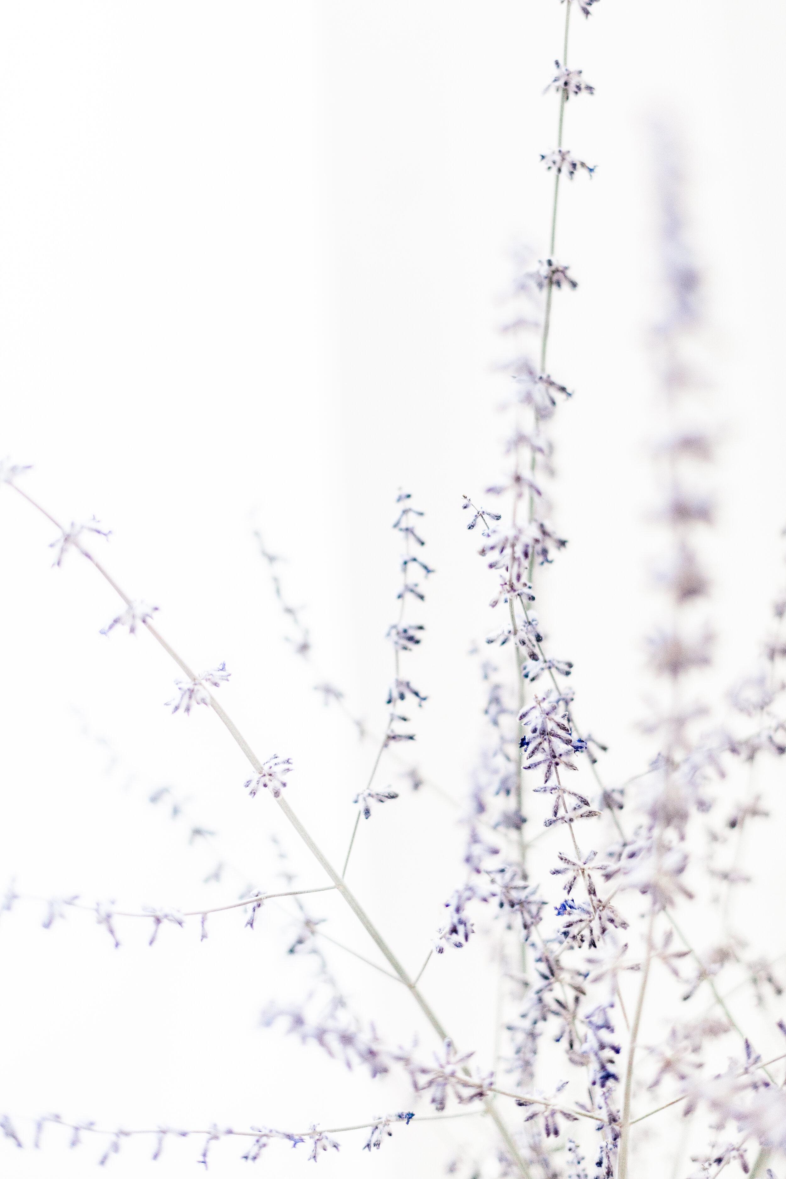 Lavender-4.jpg