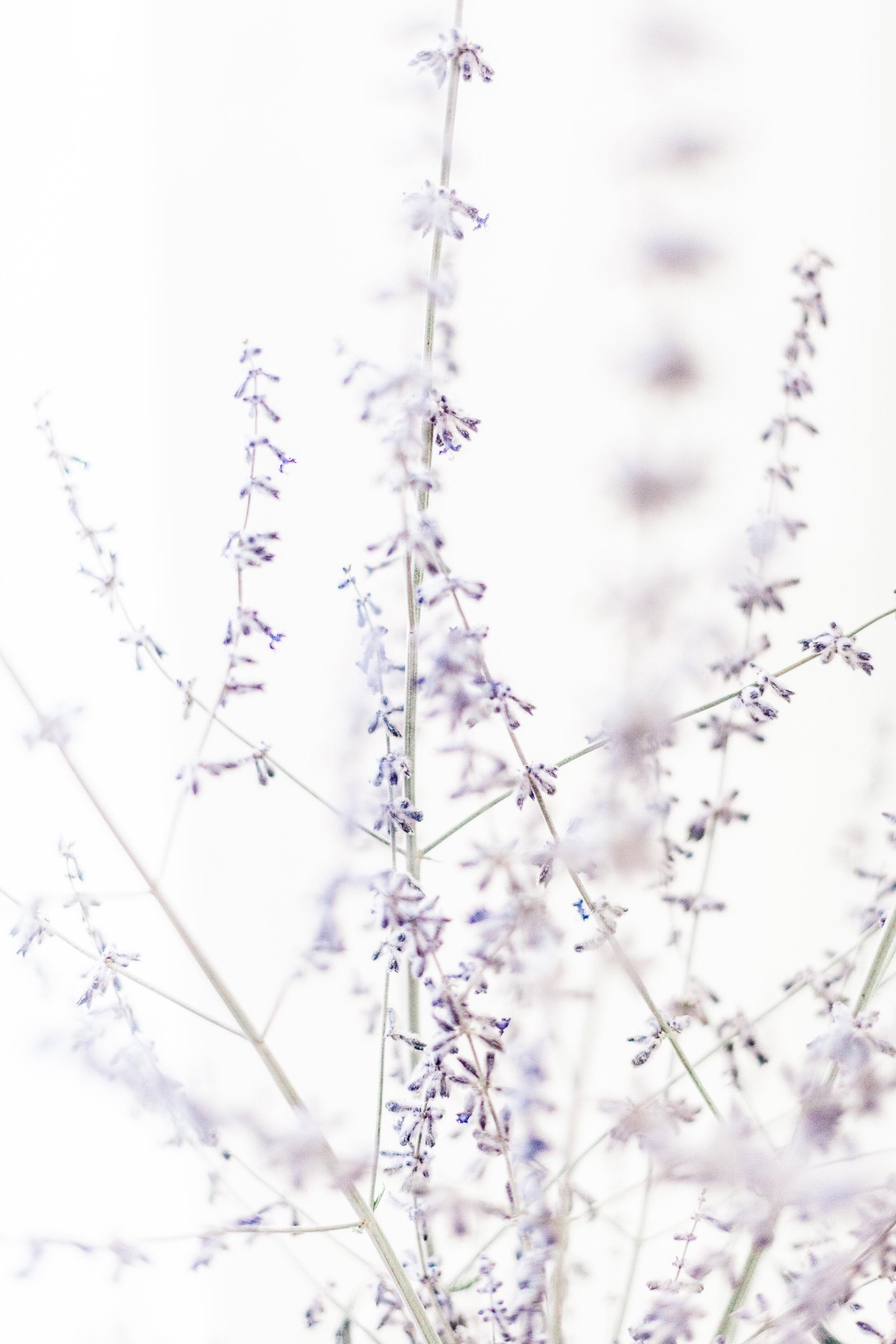 Lavender-5.jpg