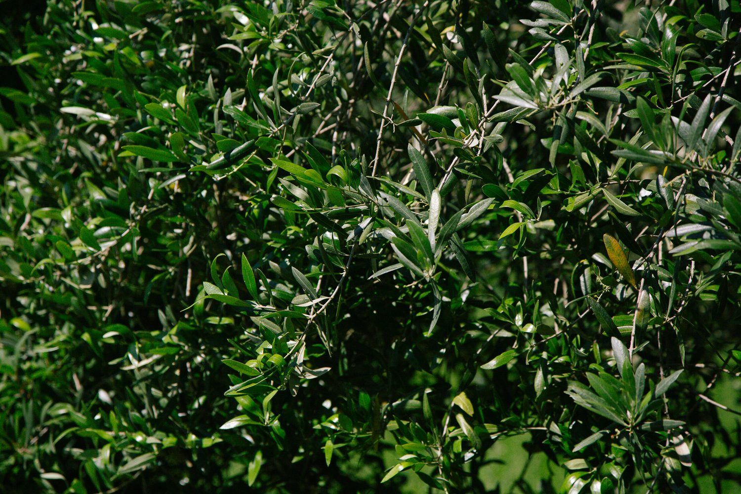 olive tree leaves tusacny