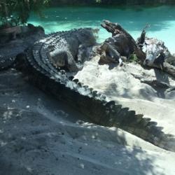 Crocodylus porosus  - Errol