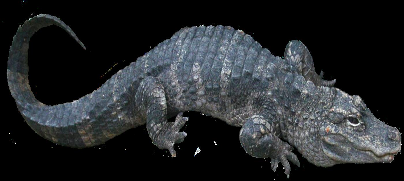 alligator_sinensis2.png