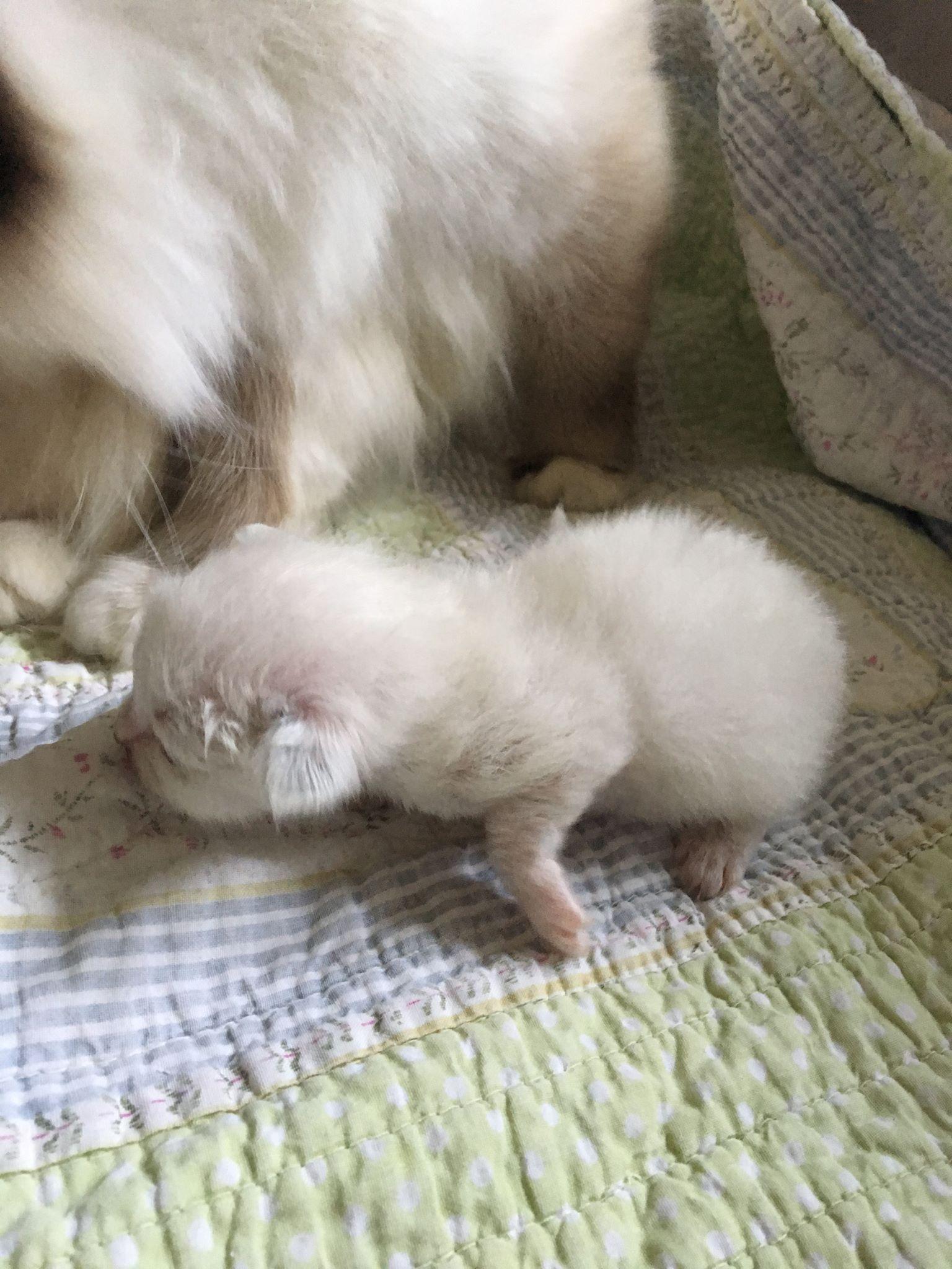 Figaro 1 uge og 2 dag gammel
