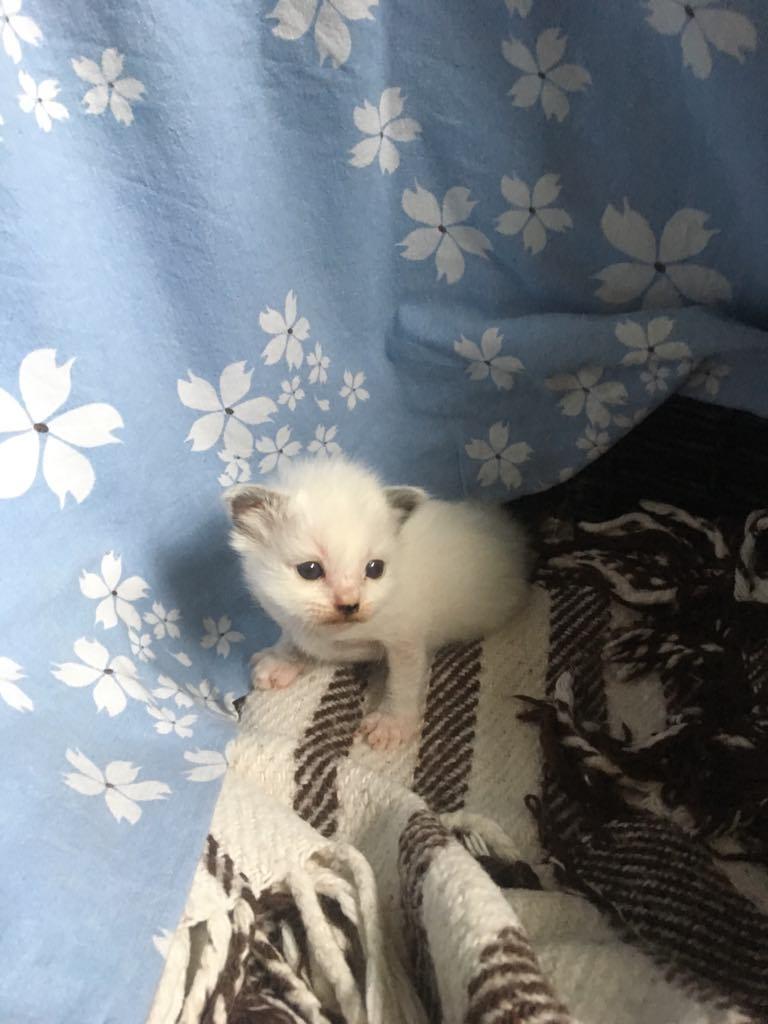 Figaro, 2 uger og 2 dage gammel