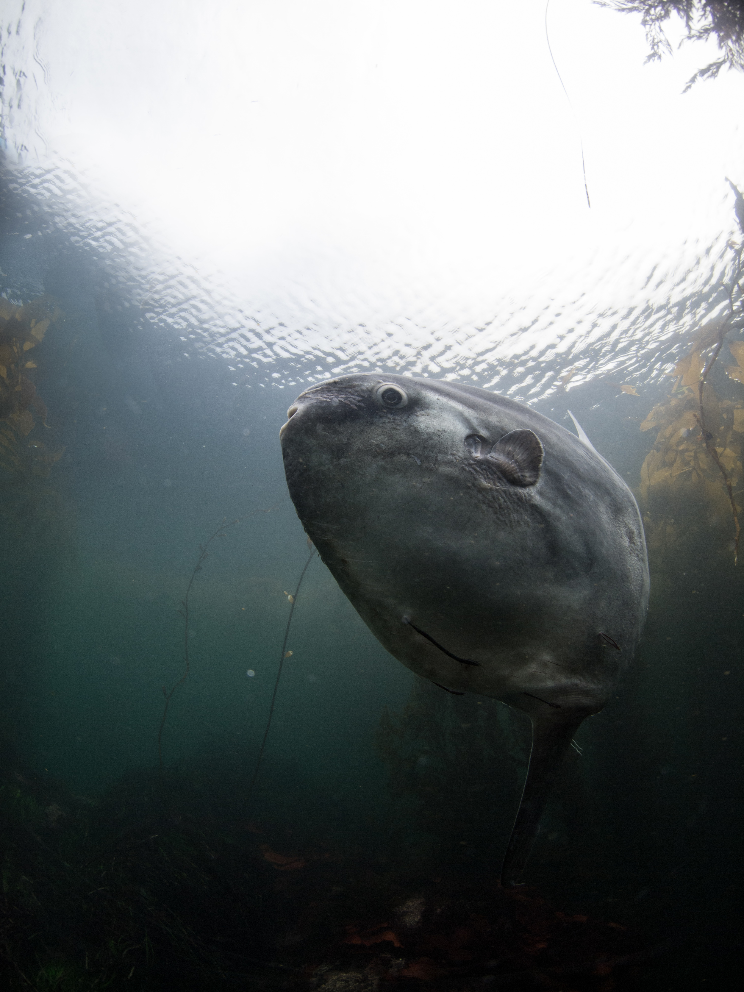 Mola Mola  Carmel, CA
