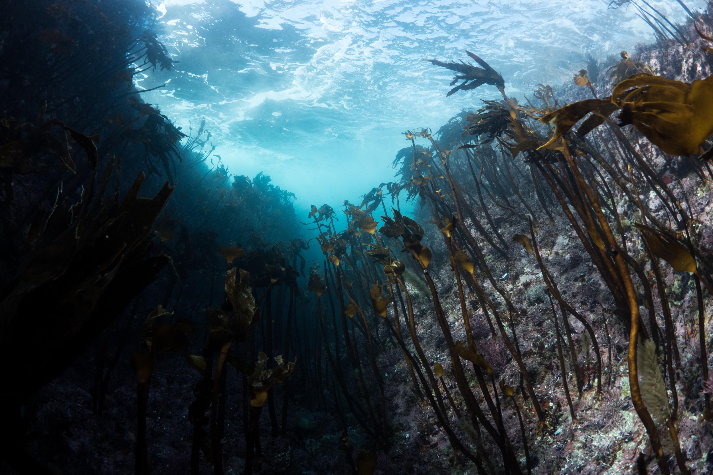 Kelp Forest   Big Sur, CA