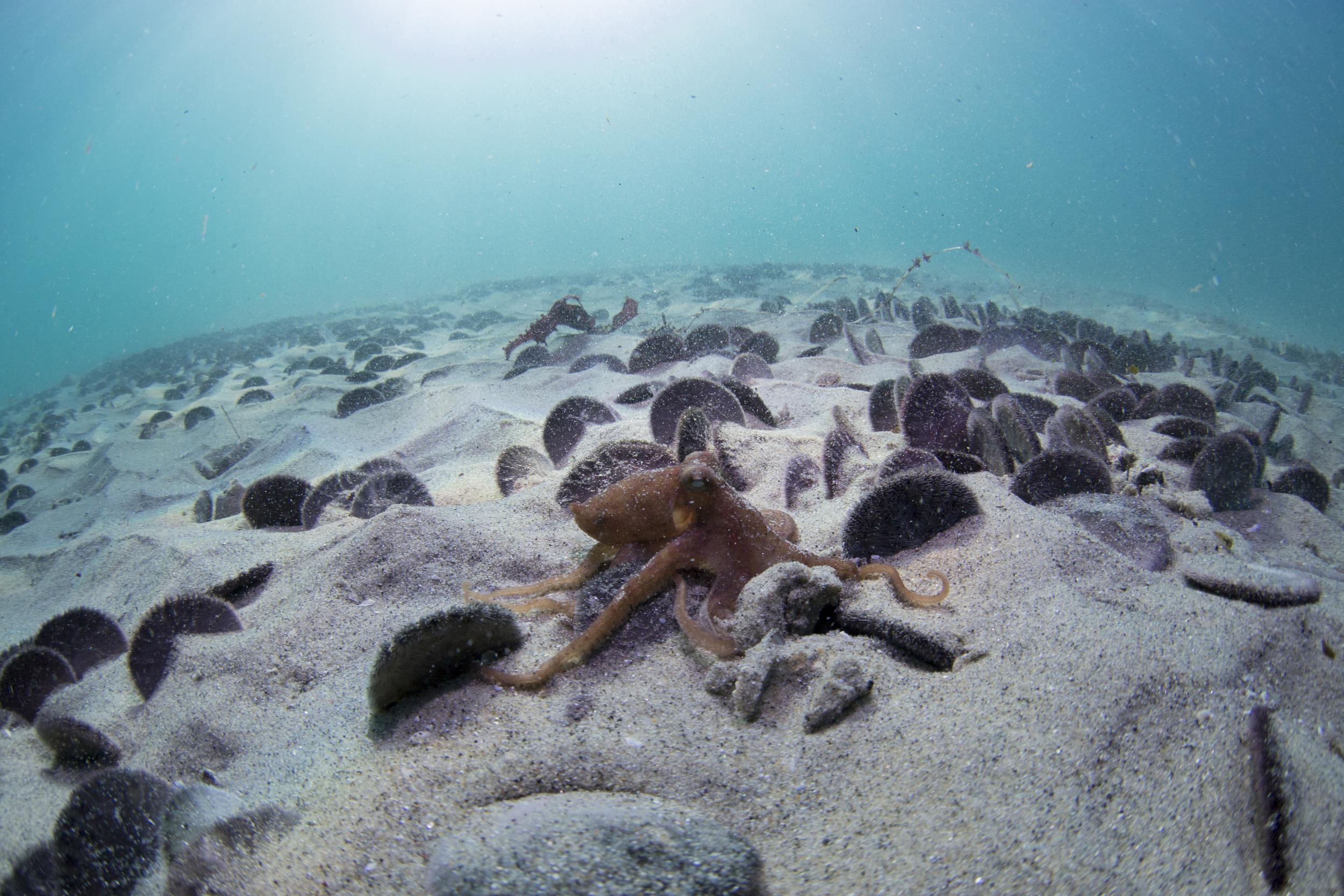 Octopus in Sand Dollar Fields  Monterey, CA