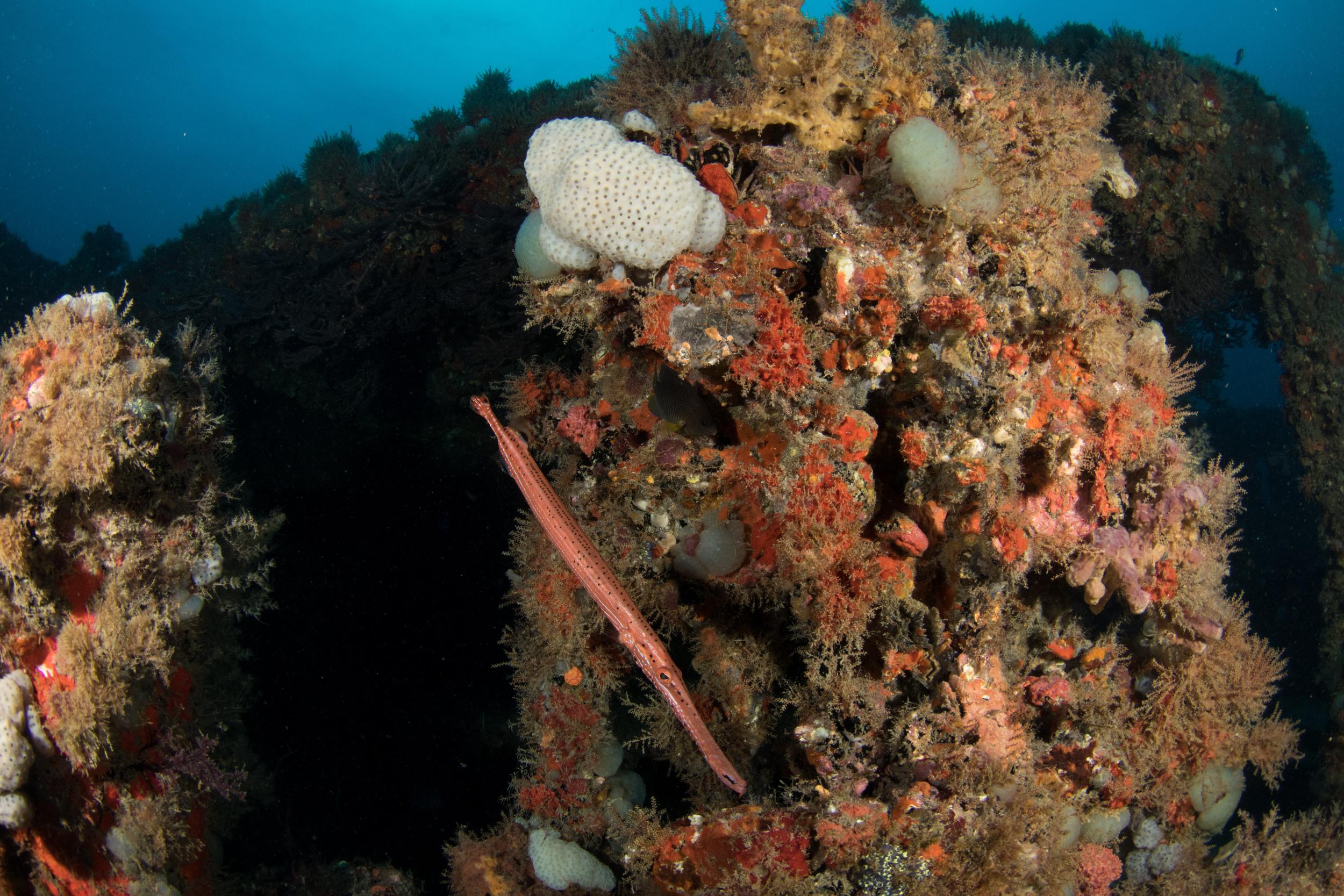 Trumpetfish West Palm Beach, FL