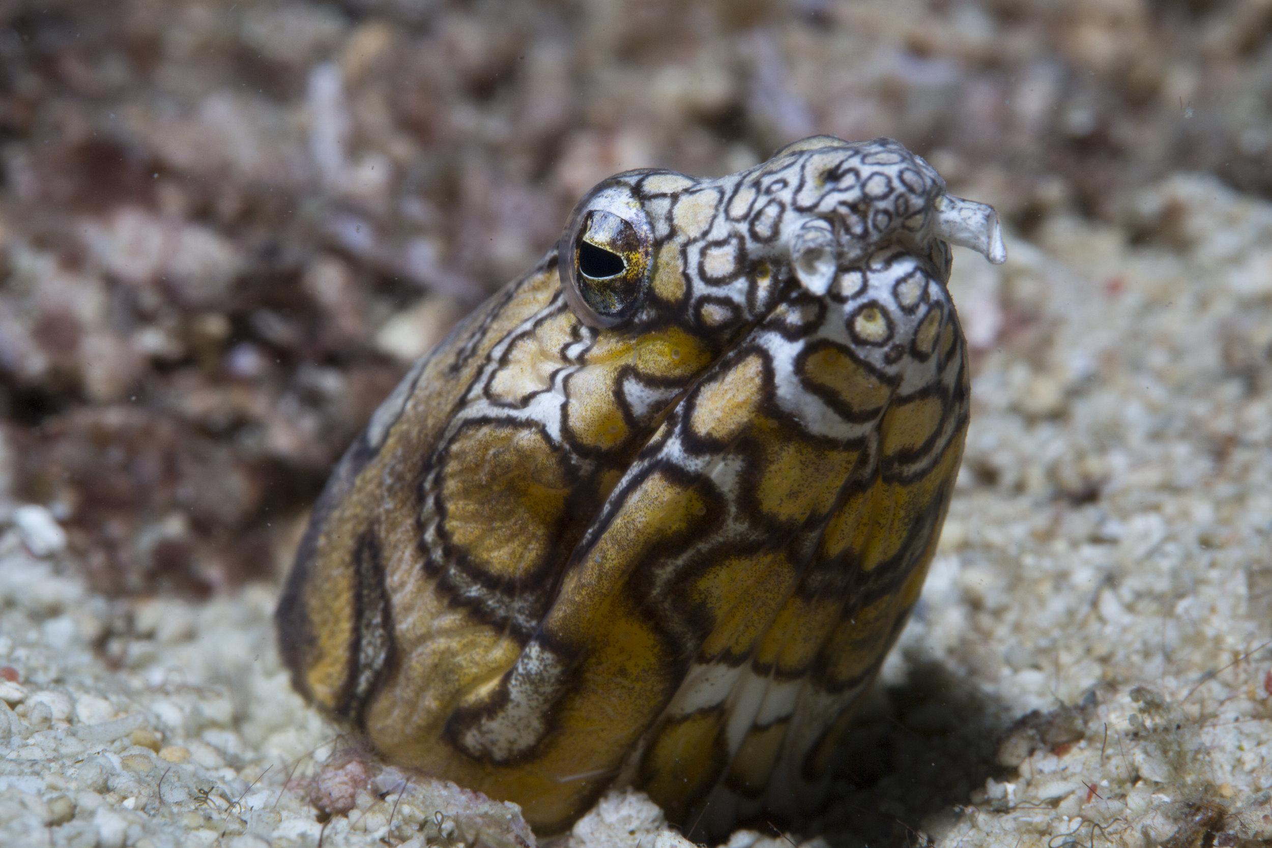 Napolen Snake Eel