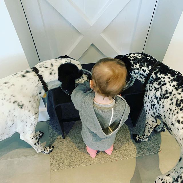 No fighting boys!  #pointer #pointers #pointersofinstagram #dog #dogs #dogsofinstagram #dinner #food #hungry #ref #referee #daughter #girl #royalcanin