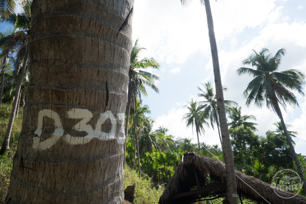 dignity coconuts numbered palm tree