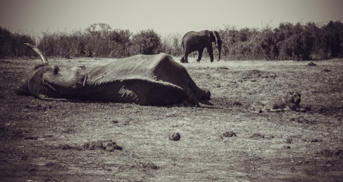 Every dry season thirst and hunger takes an increasingly heavy toll on Hwange's wildlife.