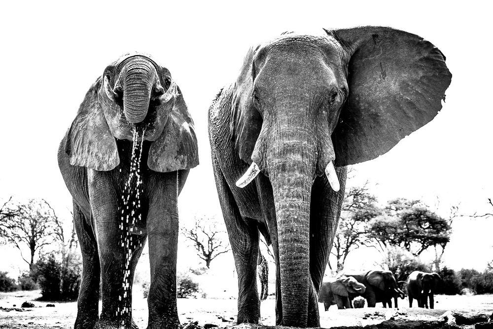 One waterhole pump can keep up to 1000 elephants alive per year in Zimbabwe's Hwange National Park.