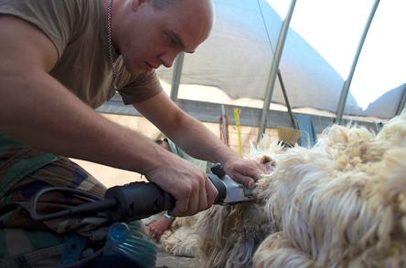 Skilled shearing