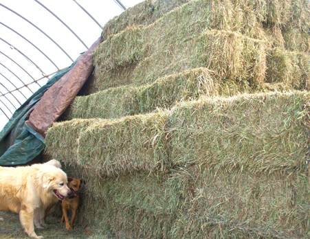 Grass fed alpacas eat hay.jpg