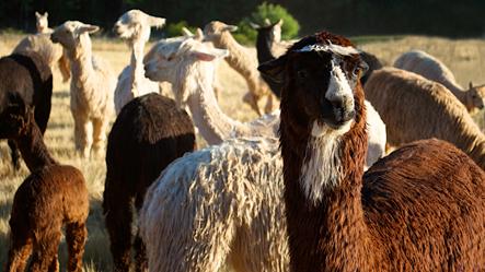 The girl herd in the morning light.jpg