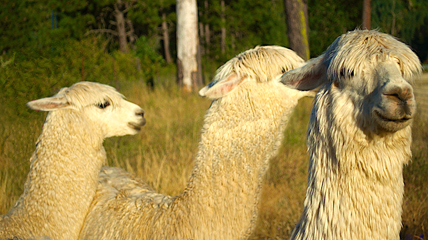 White suri alpacas.jpg
