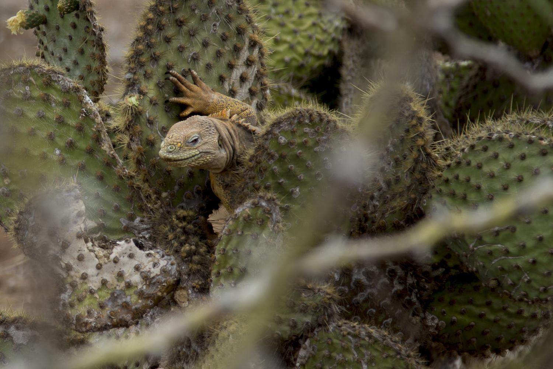A land iguana climbing a cactus on North Seymour Island.