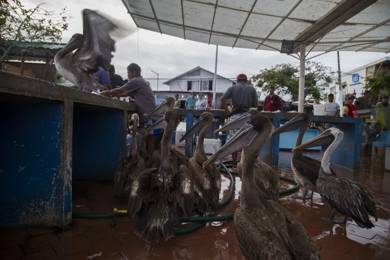 A man feeding numerous Pelicans and a Sea Lion on the Santa Cruz Island of the Galápagos.