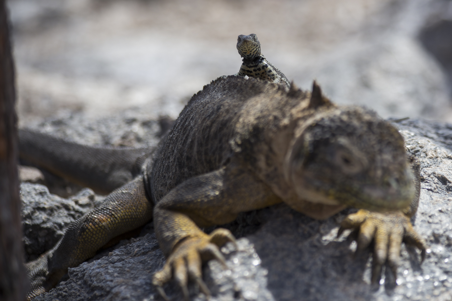 A lizard sits on the back of a land Iguana on North Seymour Island in the Galápagos.