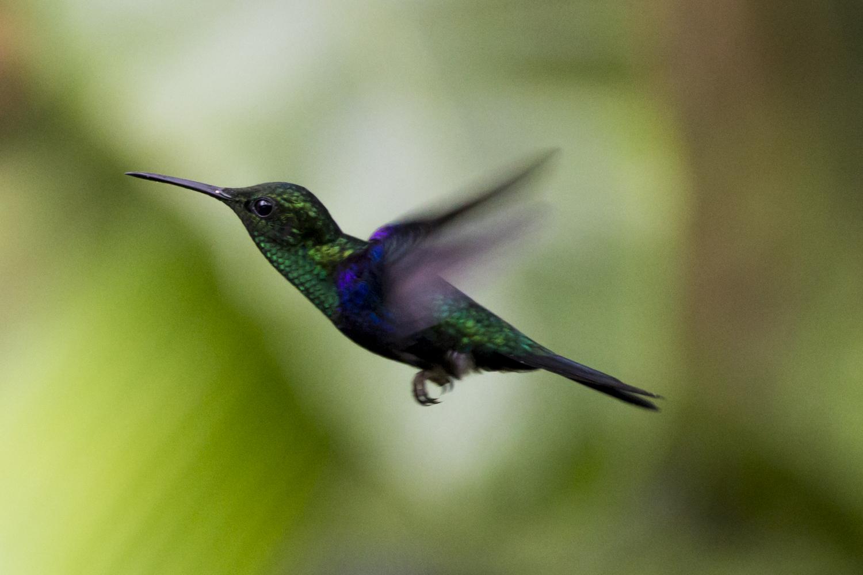 A Hummingbird at the Mashpi Eco Lodge's Hummingbird Observation Center in Ecuador.