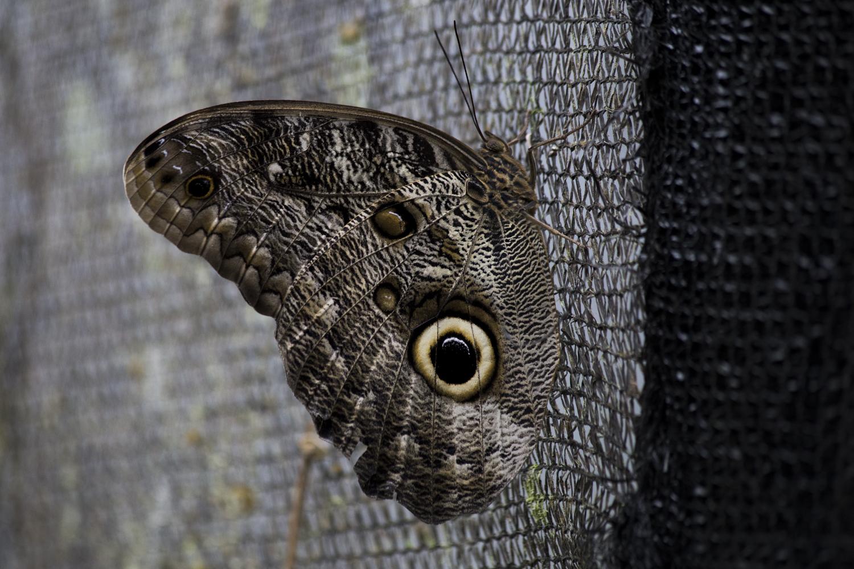 The Illioneus Giant Owl (Caligo illioneus) Butterfly at the Mashpi Life Center Atrium in Ecuador.