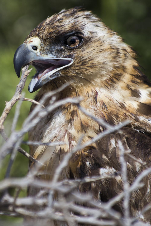 A  Galápagos Hawk (Buteo galapagoensis) on South Plaza Island.