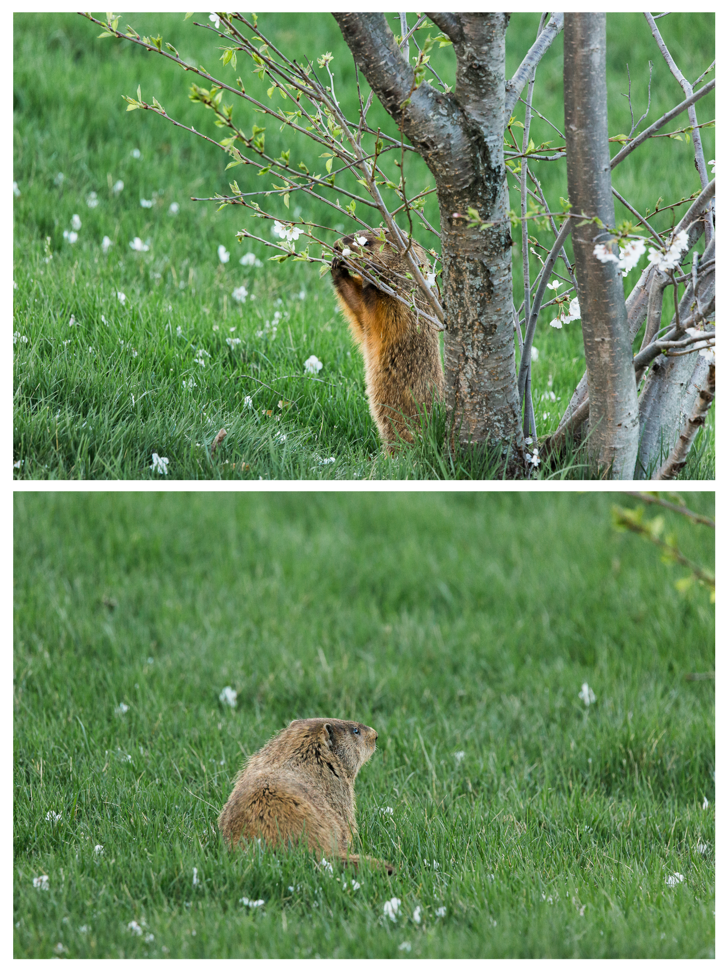 I was excited to see Turbo back visiting Monday evening. I realize that Groundhogs generally are viewed as pests due to their burrowing, but I can't help but love our new visitor. It's wonderful living in a place where we can see wildlife from our own deck.