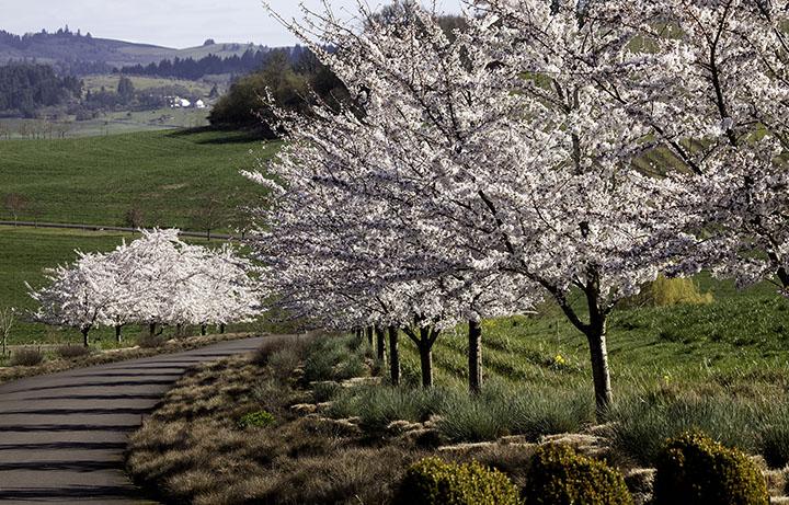 Cherry Blossoms-smaller.jpg