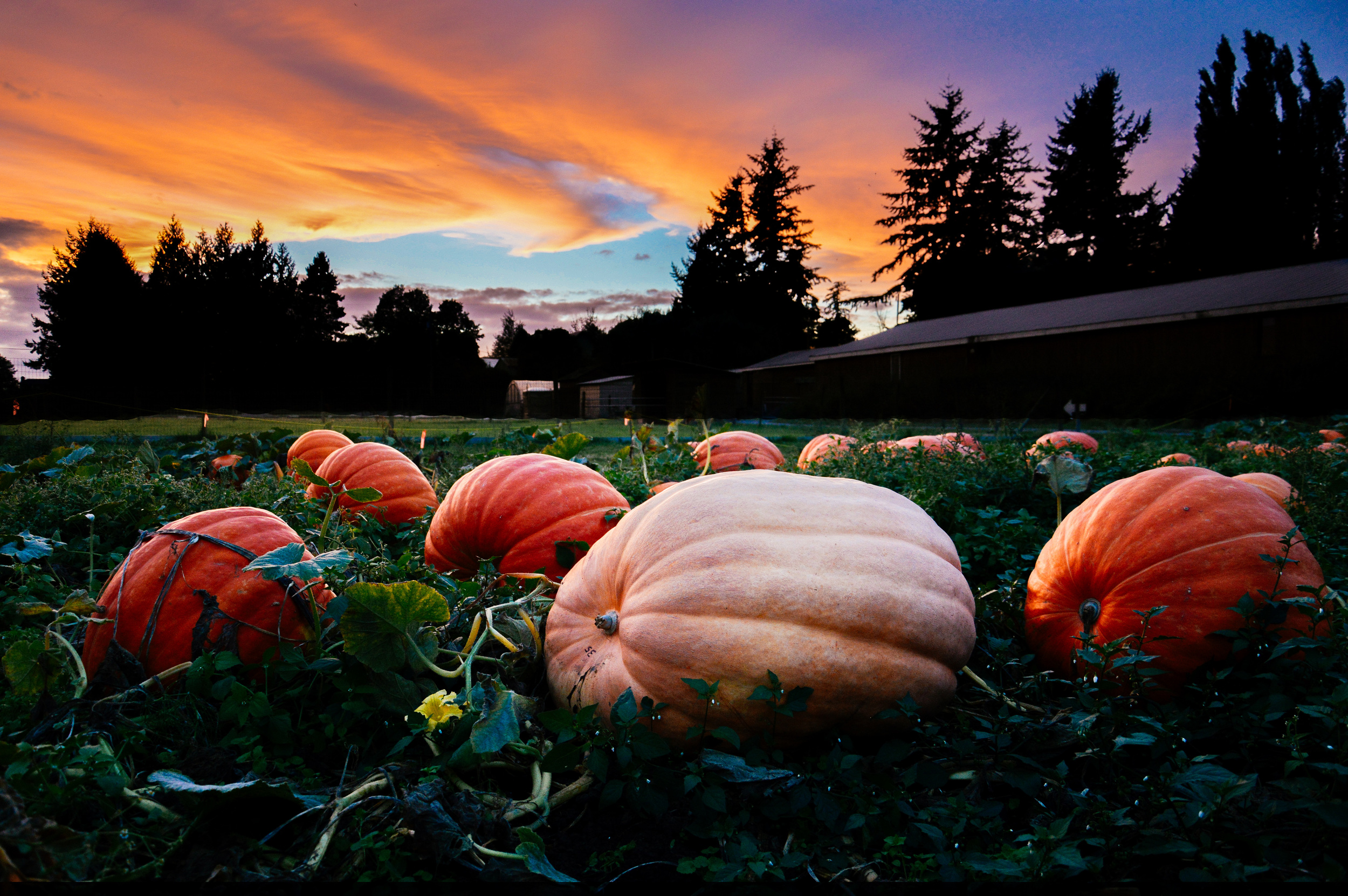 Sunset over the giant pumpkin patch, Fall 2014. Photo by: Kelsey Siemens