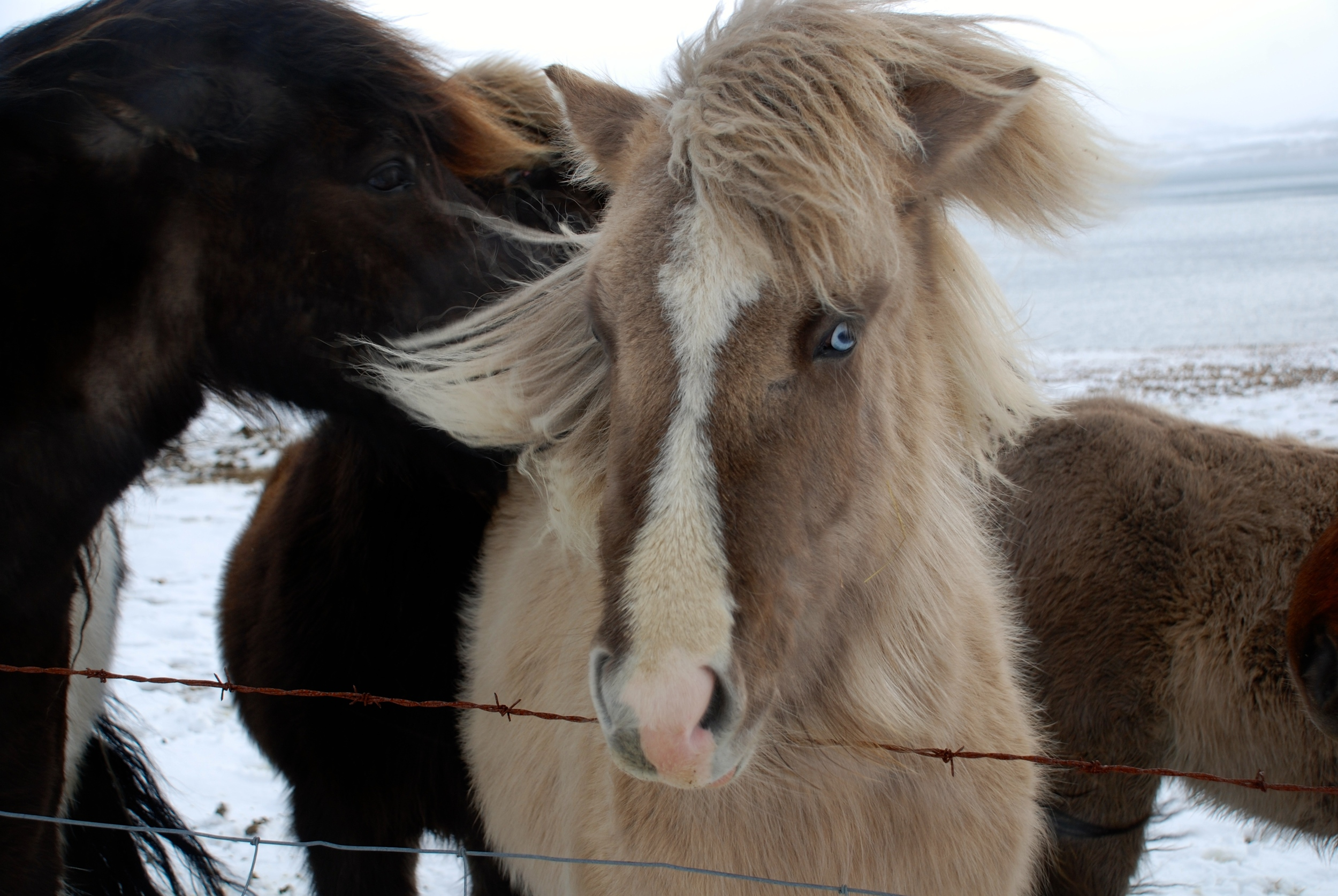 """""""There is no more sagacious animal than the Icelandic horse. He is stopped by neither snow, nor storm, nor impassable roads, nor rocks, glaciers, or anything. He is courageous, sober, and surefooted. He never makes a false step, never shies. If there is a river or fjord to cross (and we shall meet with many) you will see him plunge in at once, just as if he were amphibious, and gain the opposite bank."""" ~ Jules Verne, Journey to the Center of the Earth"""