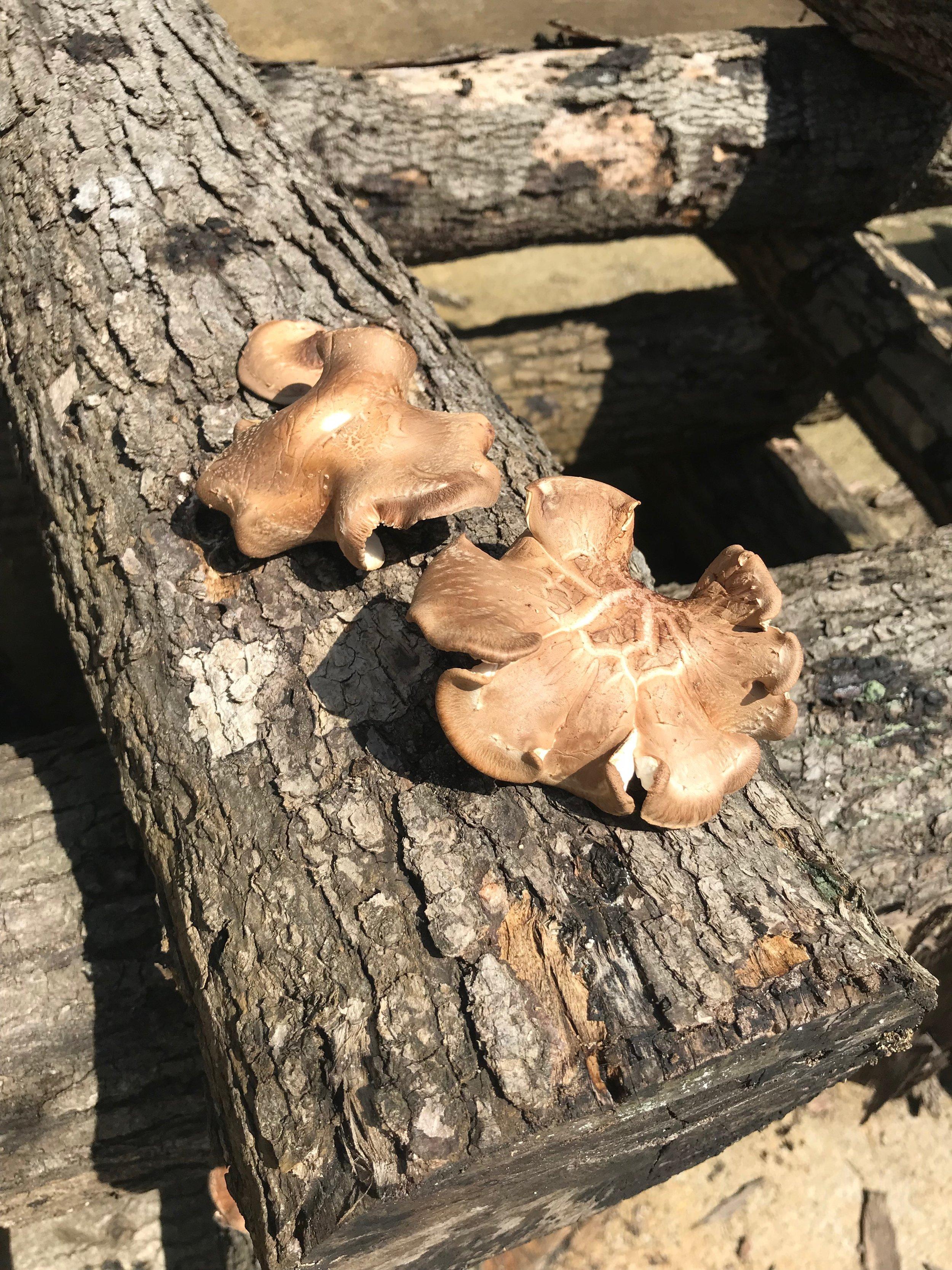 Shiitake Logs at Carolina Mushroom Farm