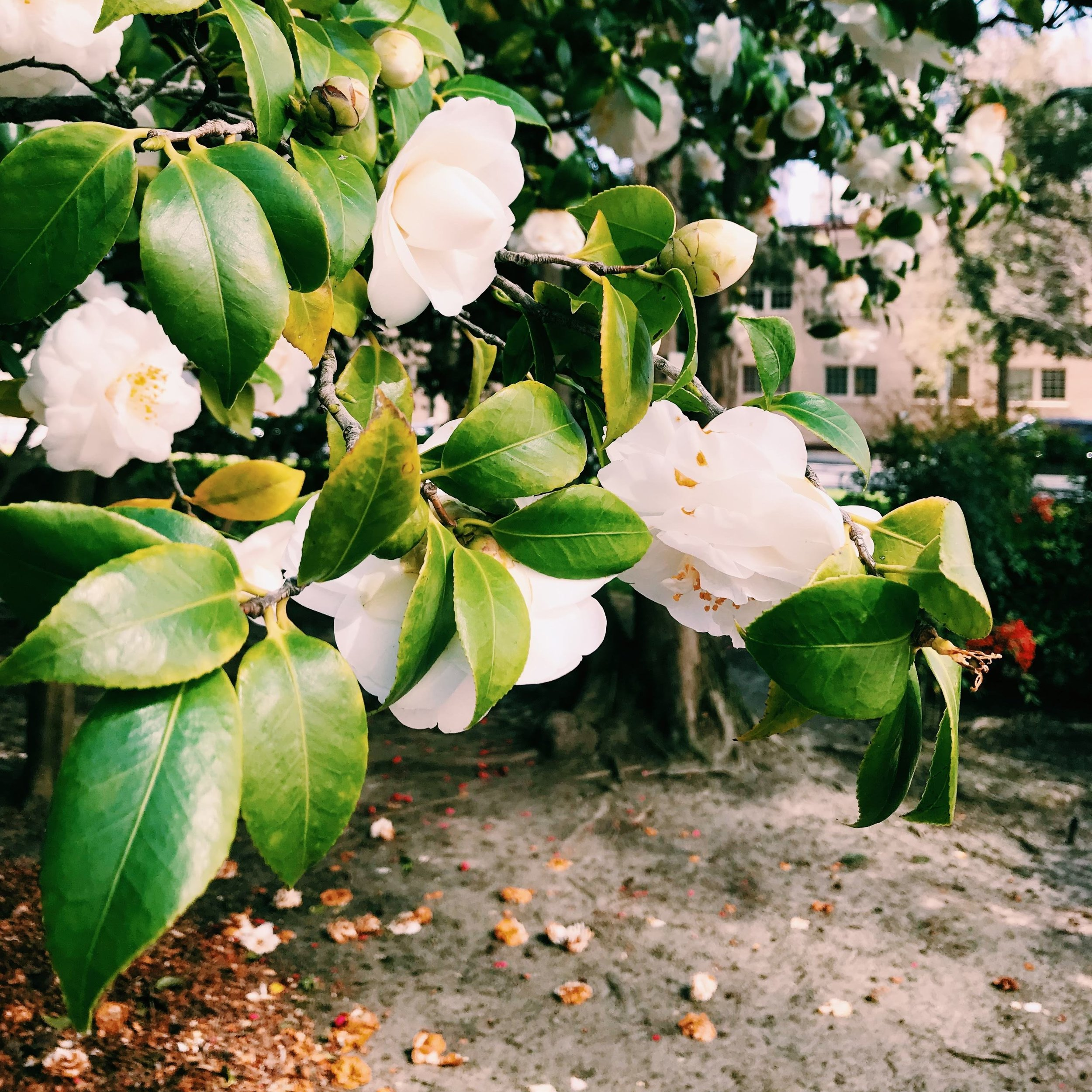 Three Heel Clicks - Spring Blooms in Sacramento's State Capitol Park (28).jpg