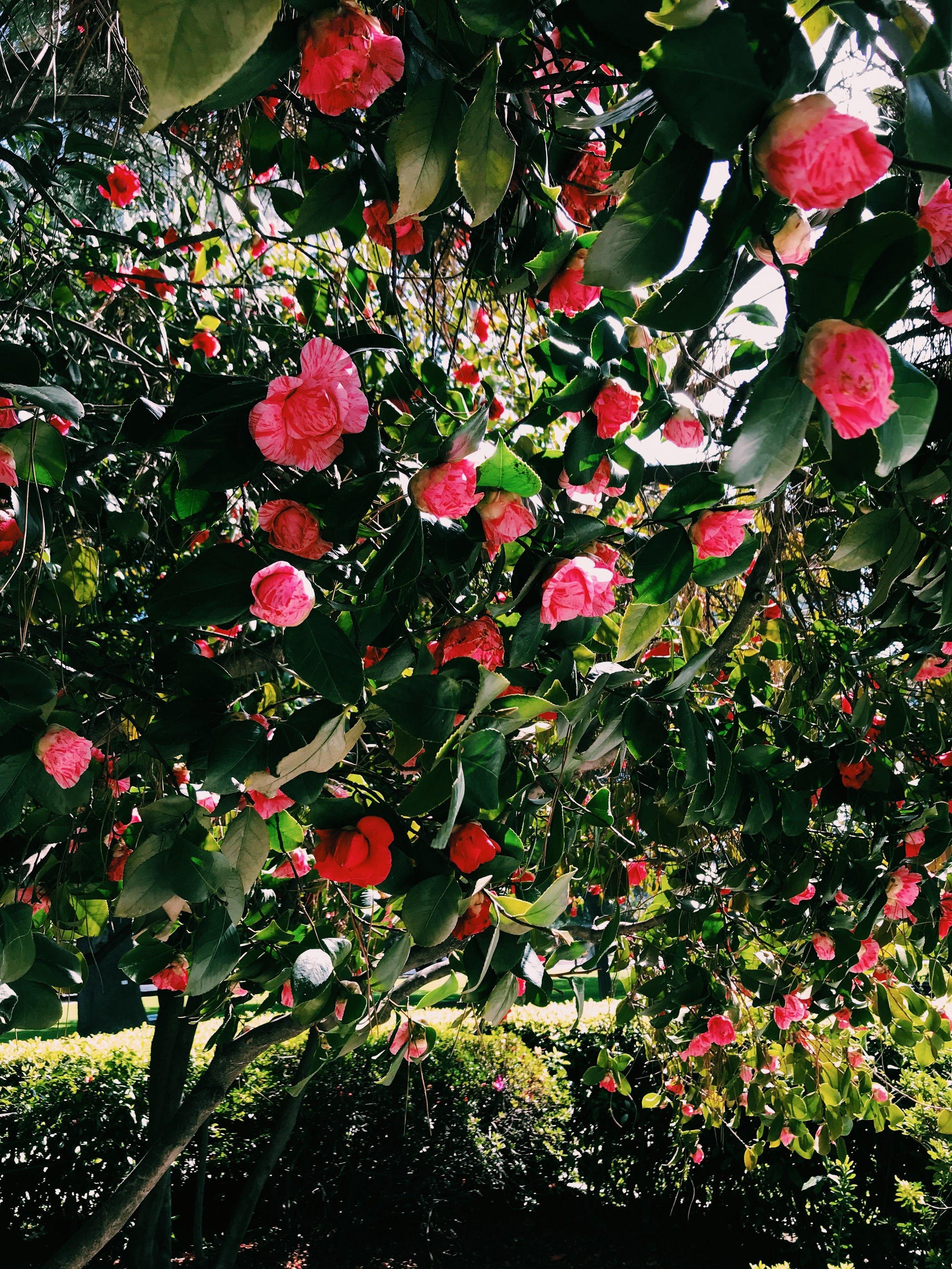 Three Heel Clicks - Spring Blooms in Sacramento's State Capitol Park (3).jpg