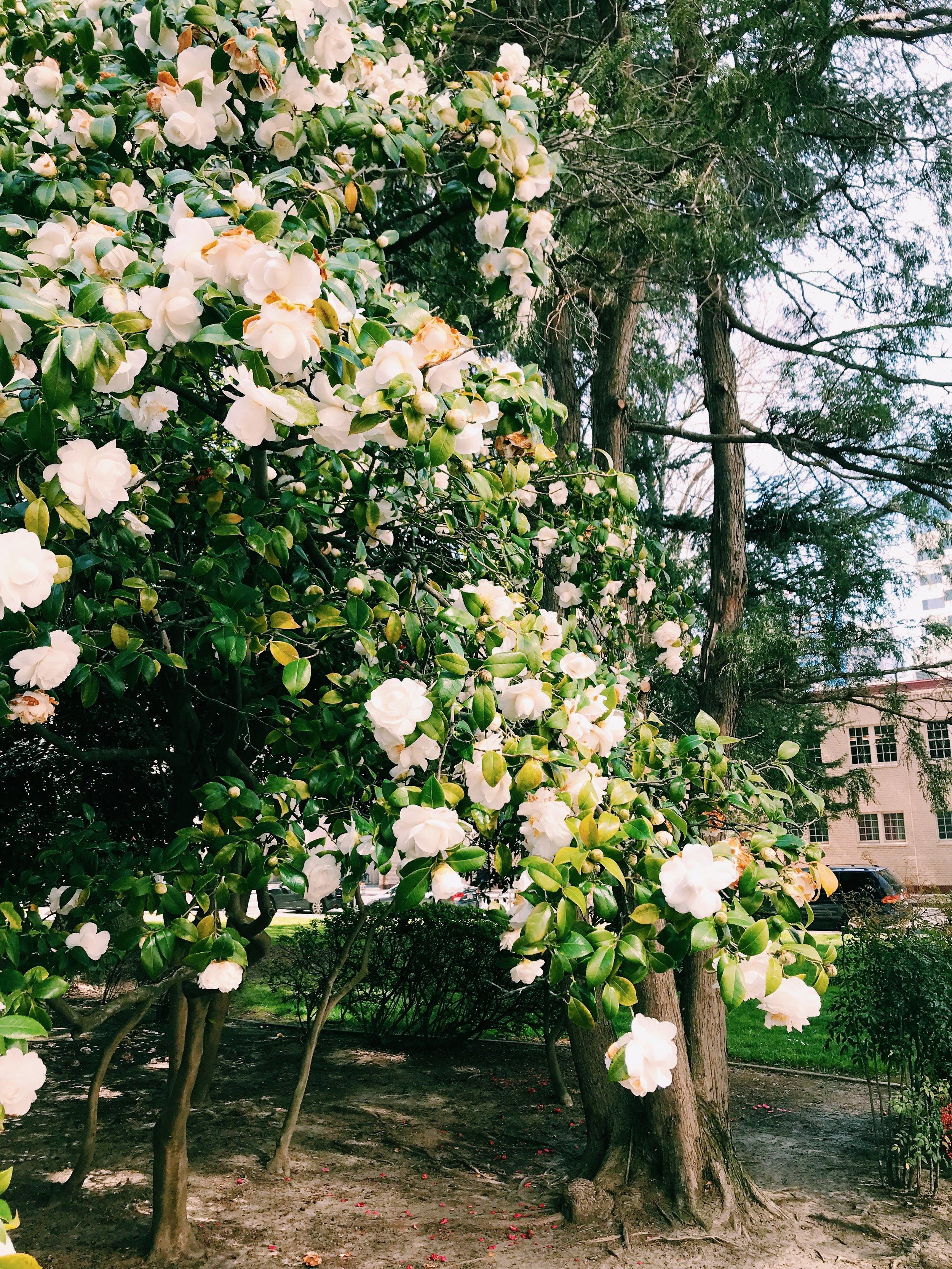Three Heel Clicks - Spring Blooms in Sacramento's State Capitol Park (19).jpg