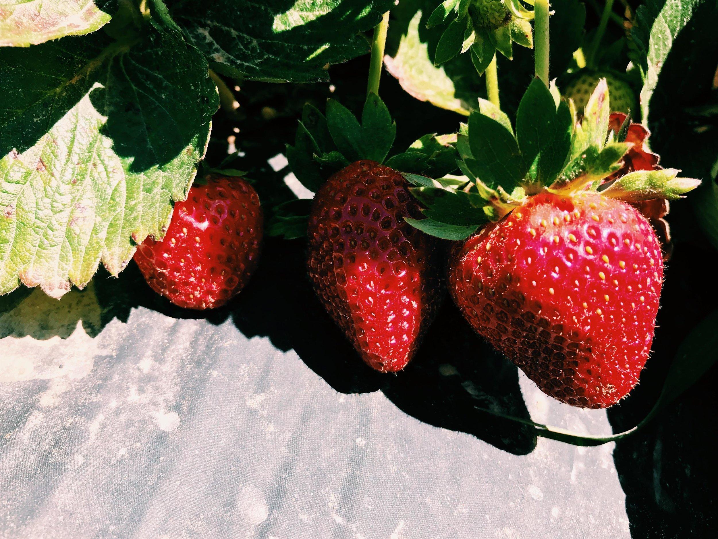 Three Heel Clicks - Strawberry Picking at Atkinson's Farms (14).jpg
