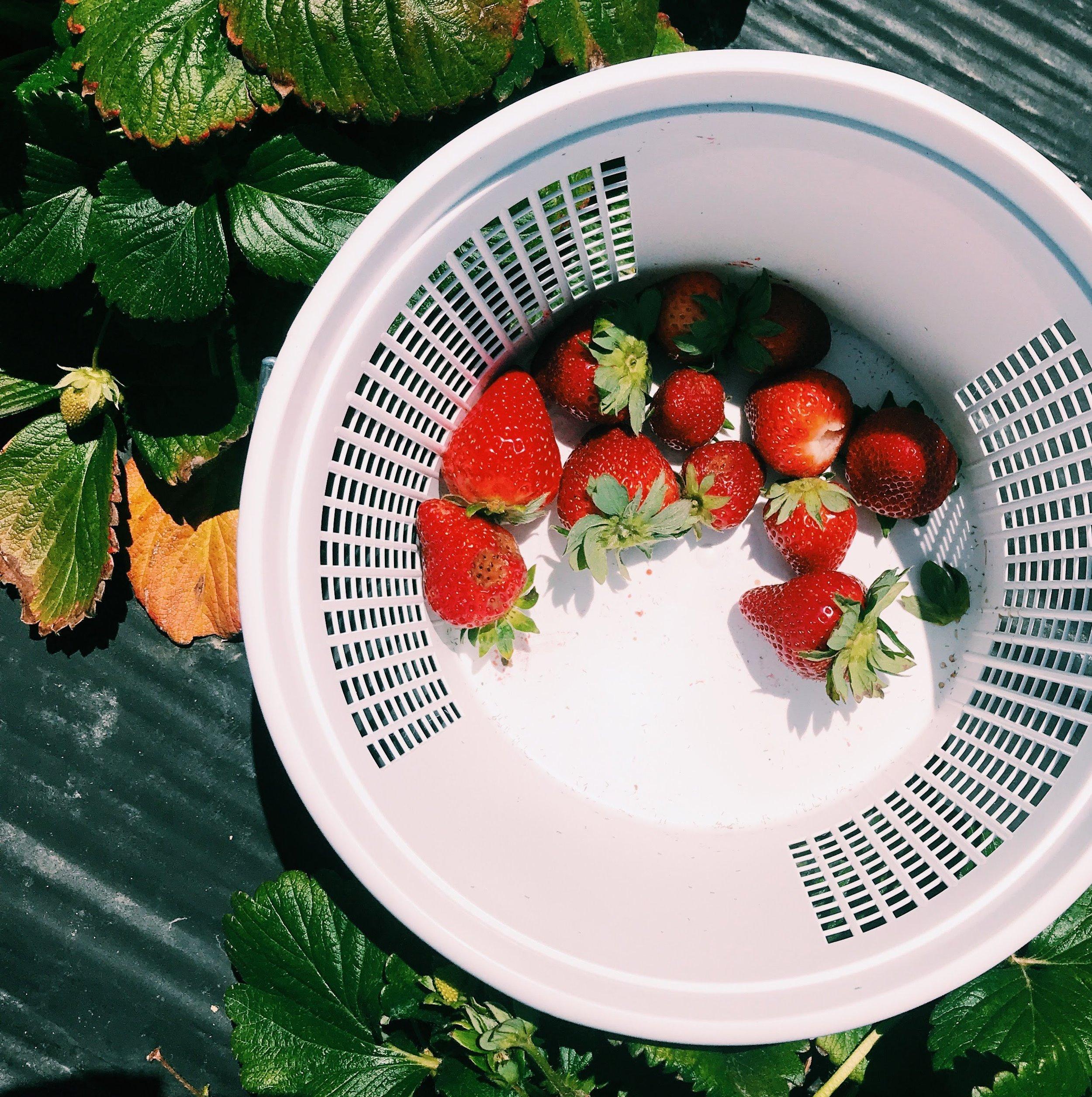 Three Heel Clicks - Strawberry Picking at Atkinson's Farms (20).jpg