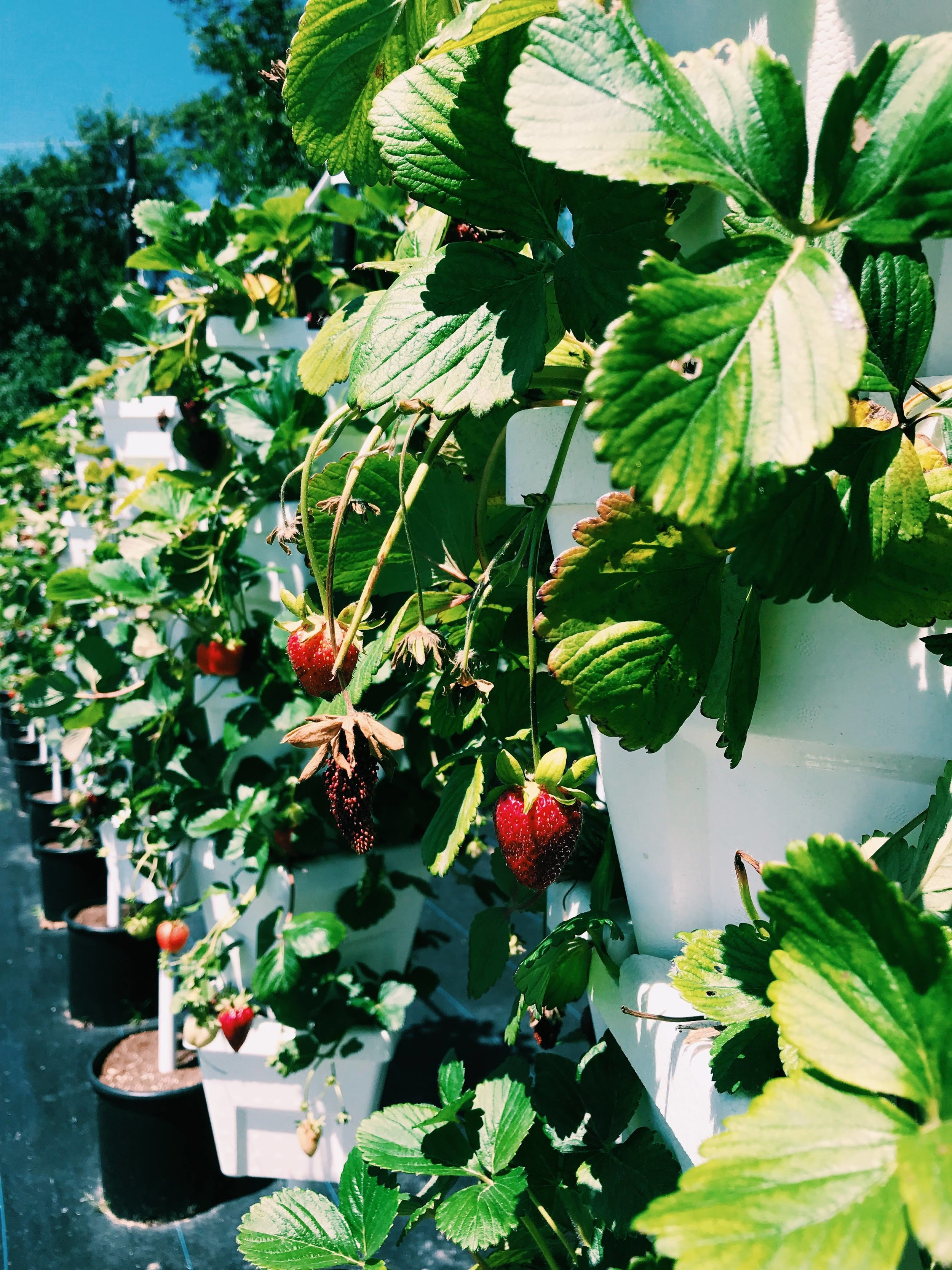 Three Heel Clicks - Strawberry Picking at Atkinson's Farms (8).jpg
