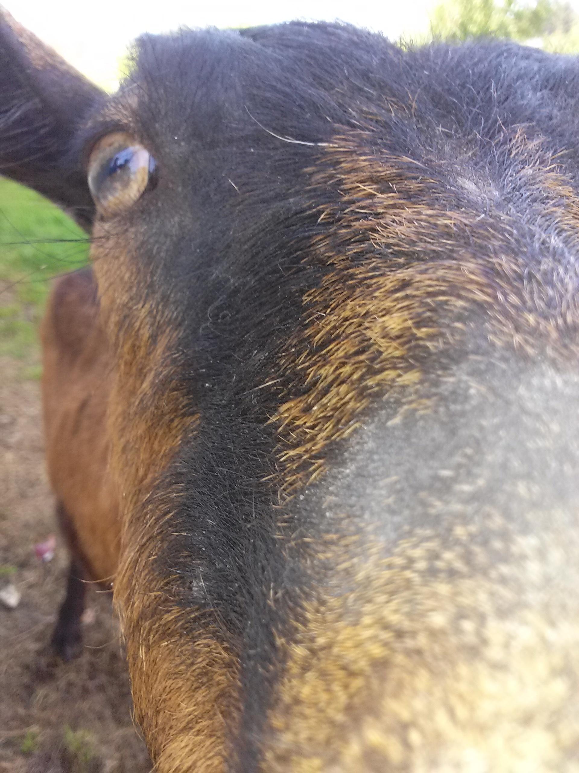 BHam Goat.jpg