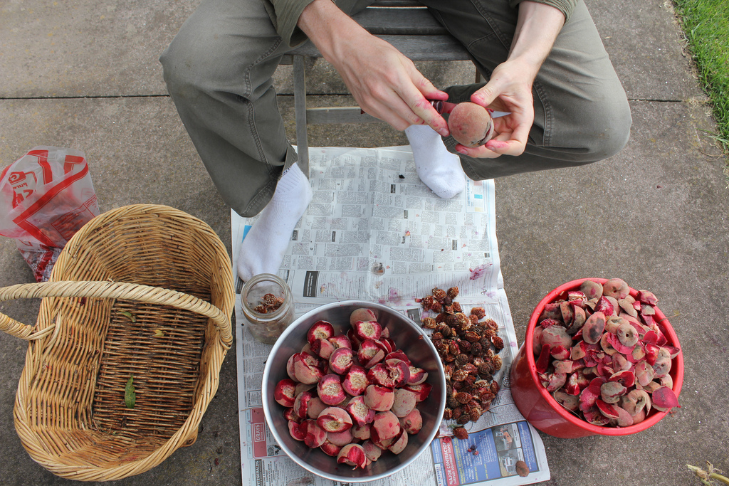 Pitting peaches - keeping diseased pits out of circulation and out of the compost. Methodical, necessary.