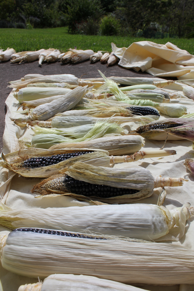 Slow-drying corn on the porch