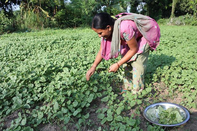 Pramila harvesting spinach at a friend's place.