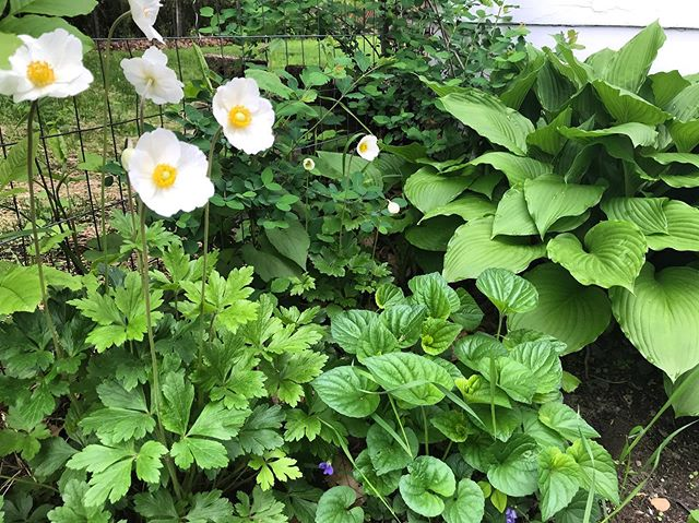 proper poppin' in the lil' corner next to the garage. these anemones were transplanted almost a year ago and decided to stay the course. so delicate! the hostas and wild violet do what they want. in other news, the #tinyhouse needs a fresh coat of stain or paint to combat the absolute blast of southern-facing sun, so we will show this to keep our spirits high. 😉 this will be coat #3 in as many years.  #yikes #greenery #lush #finallyspring #vermont